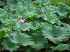 Suzhou - étang fleuri