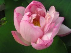 Suzhou - fleur de lotus