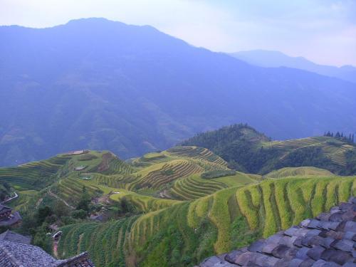 Riz terrasses