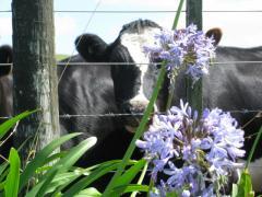 Vache NZ